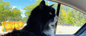 Black and white cat looking out car window